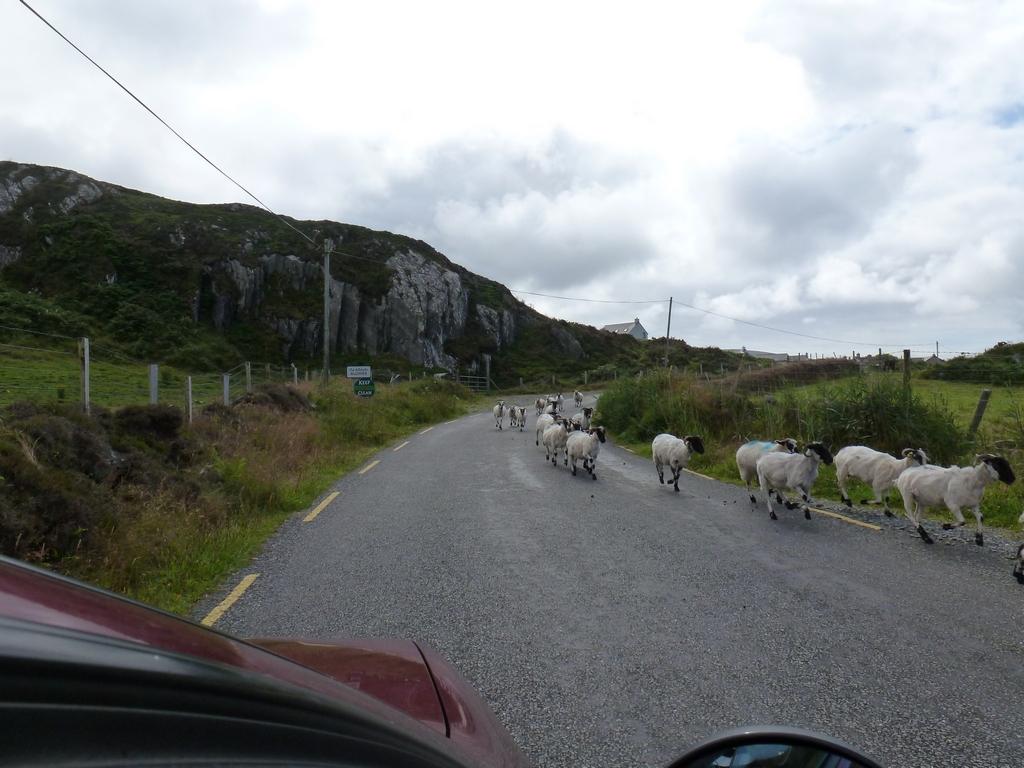 Rennende schapen.
