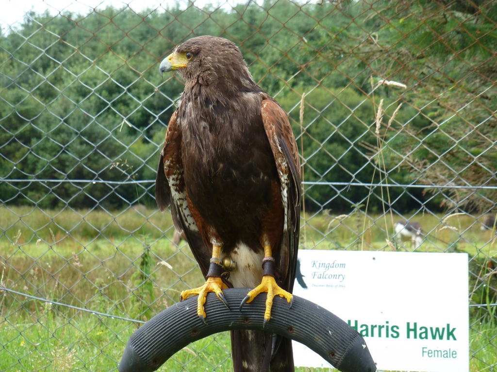 Harris Hawk Female.