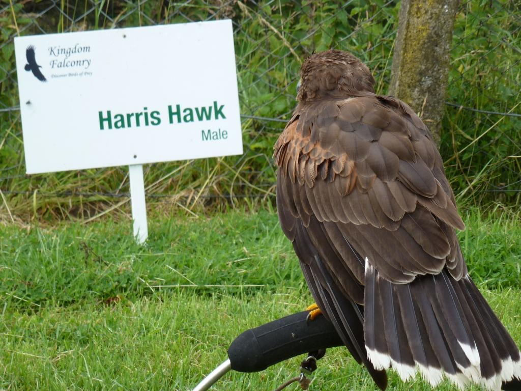 Harris Hawk Male.