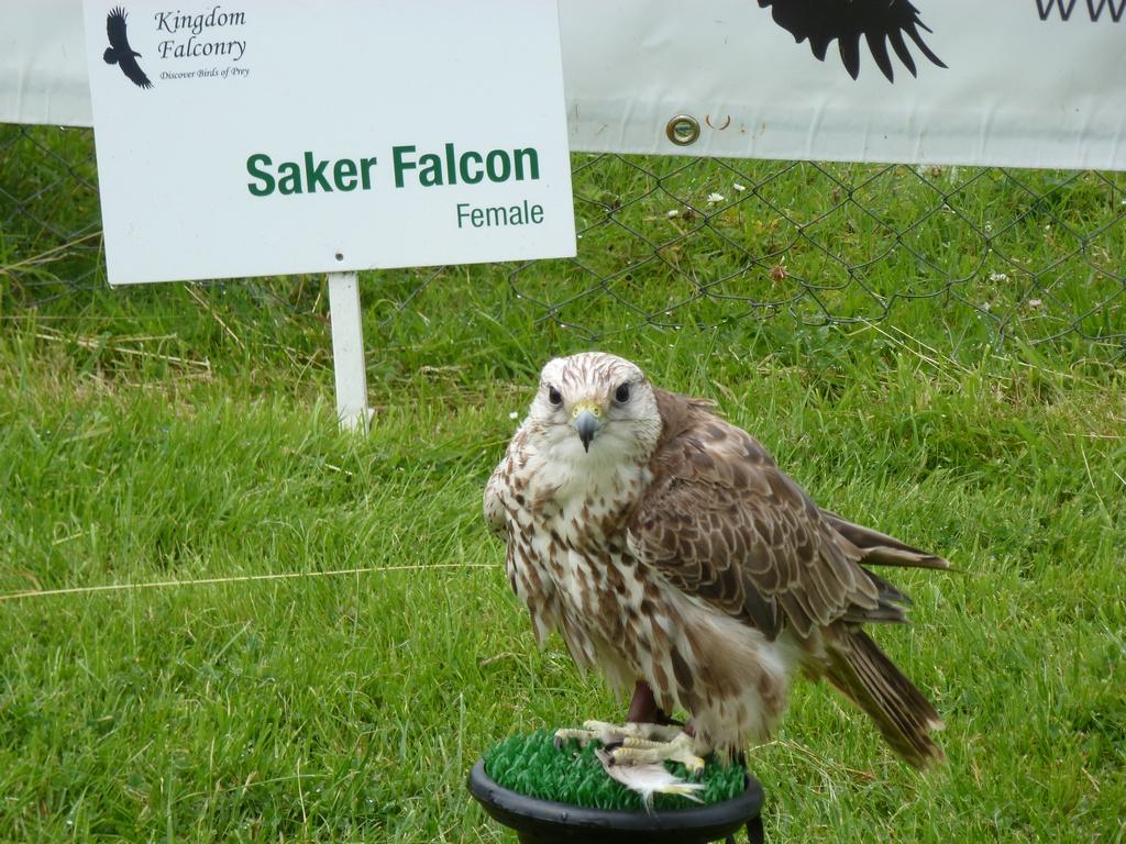 Saker Falcon Female.