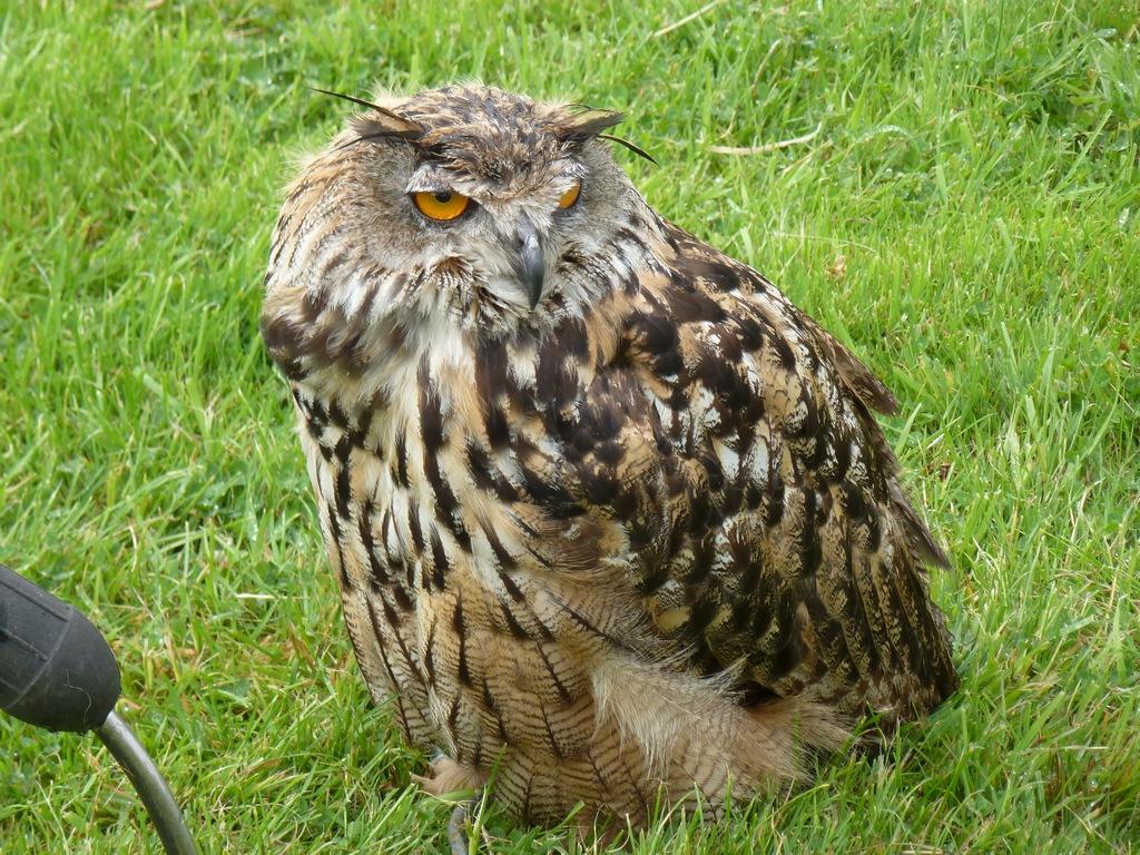 European Eagle Owl Female.