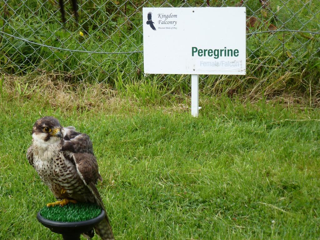 Peregrine.