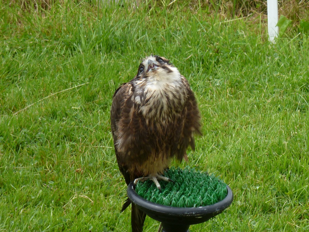 Lanner Falcon Male.