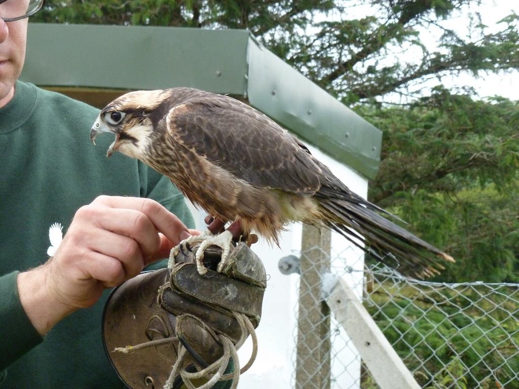 Lanner Falcon Male.