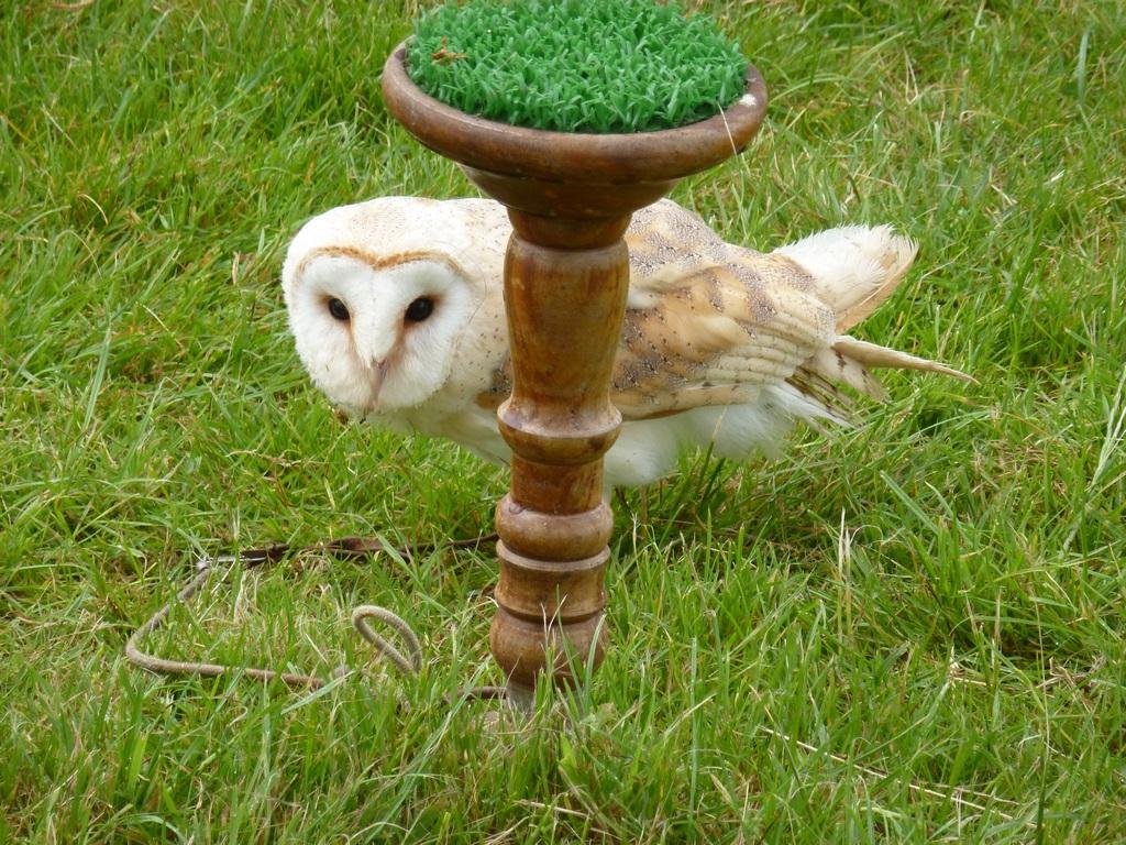 Barn Owl Male.