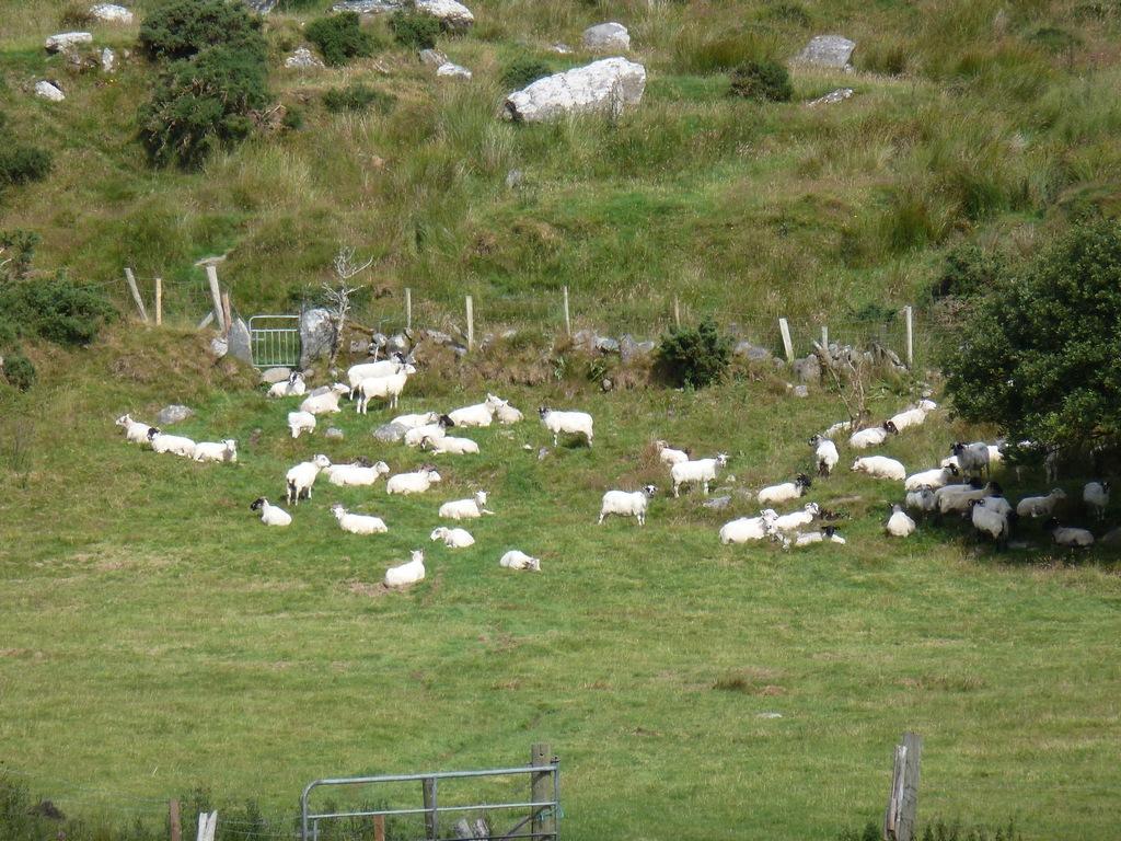 De schapen.