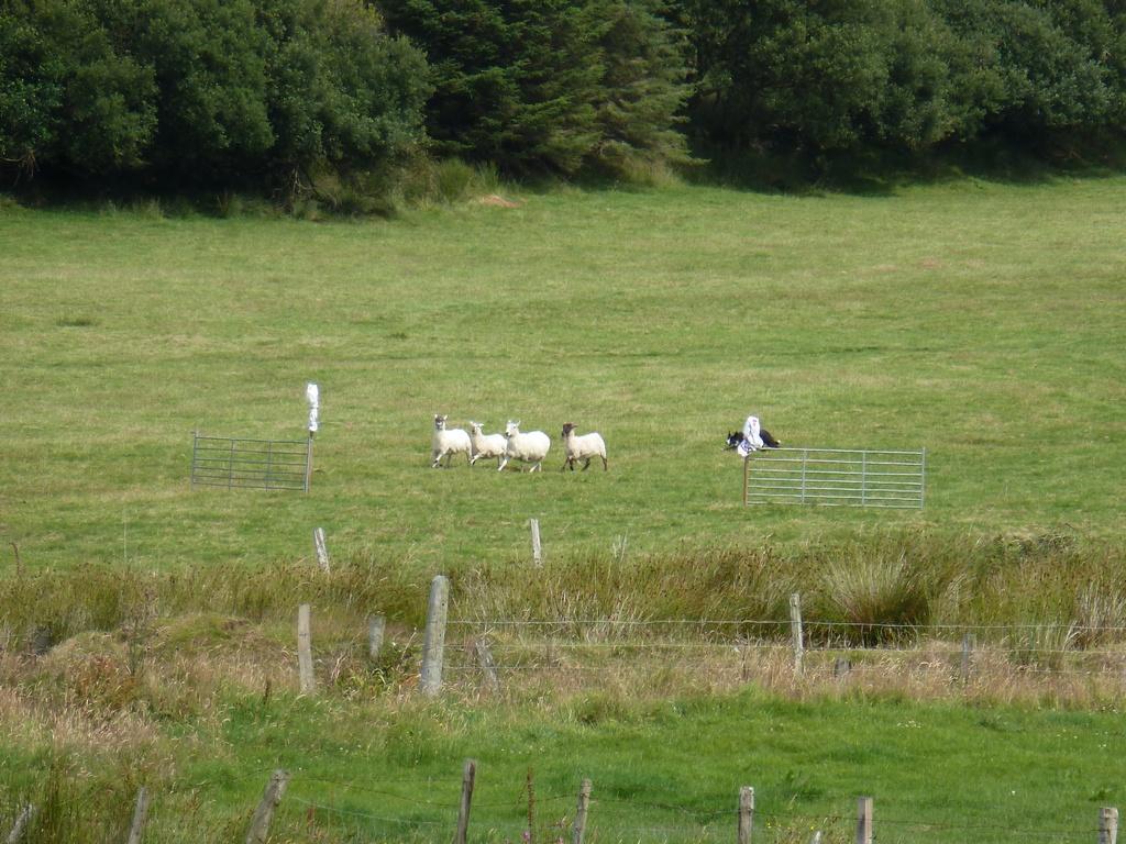 De schapen hadden tussen de paaltjes door gemoeten.