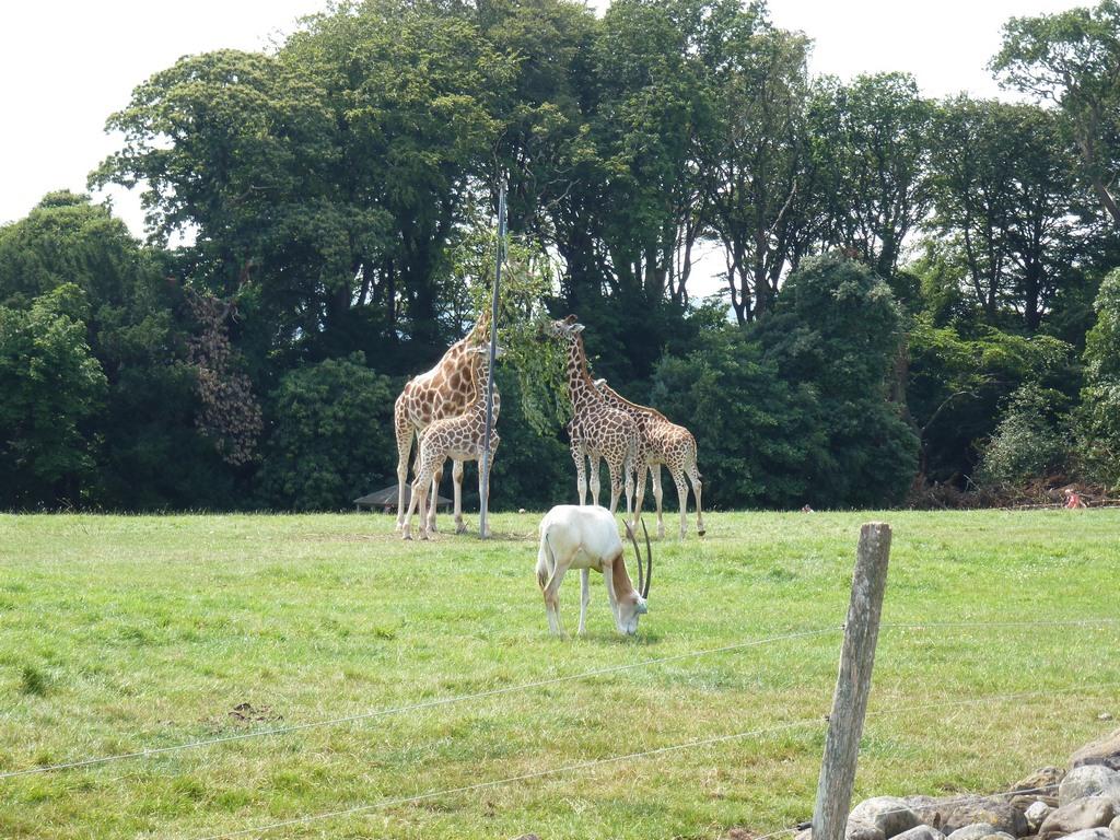 Giraffen.