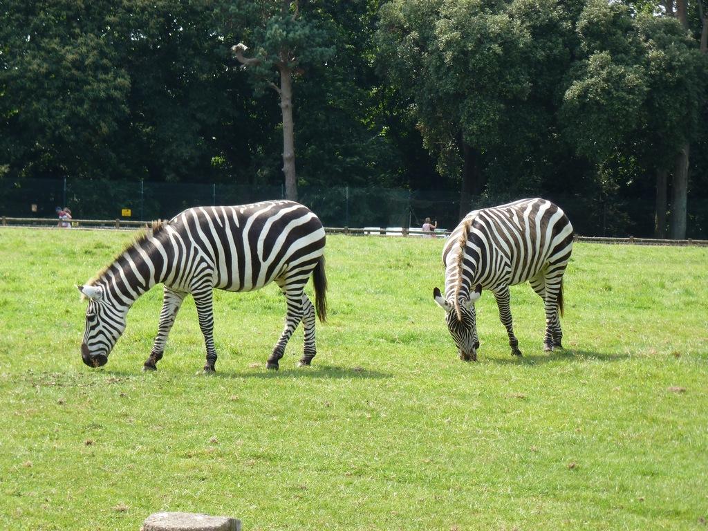 Zebra's.