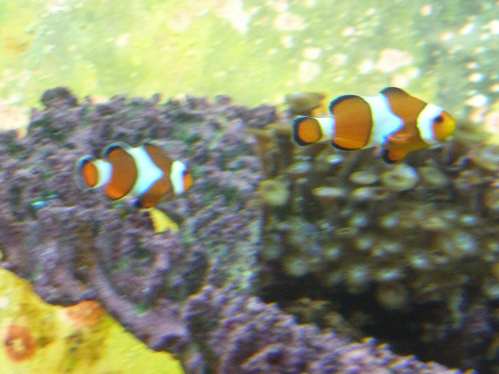 We hebben Nemo en z'n vader gevonden!